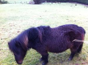 A British Pony !